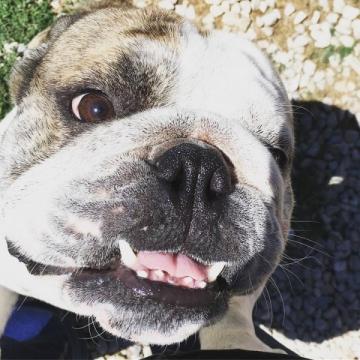 Bulldog love from Calvin