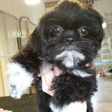 4 week old shihtzu puppy! Fell asleep half way through her groom.