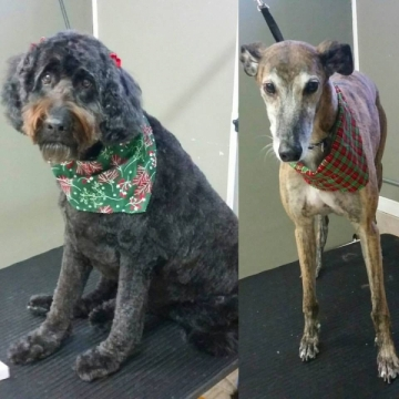 Martin the Greyhound and Lindsay came in for a winter spa day