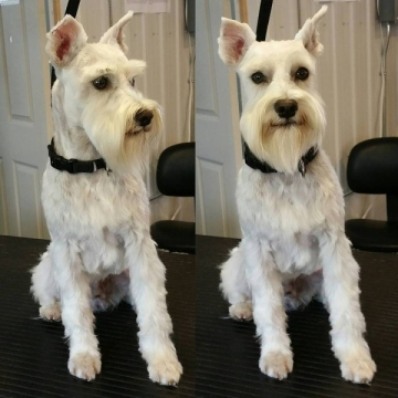 White schnauzer named spike! How cute.