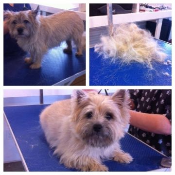 Hand stripping terriers in class today!