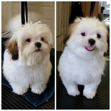 Shihtzu that looks like a miniature sheep dog!