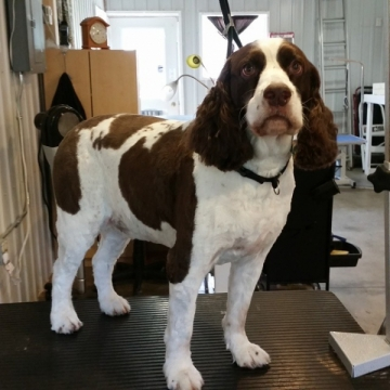 Charlie came in for a groom! While brother Toby is patiently waiting for his appointment.