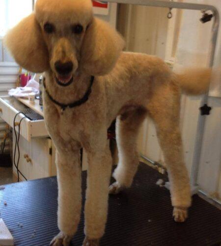 Monet's short summer trim! Happy poodle!