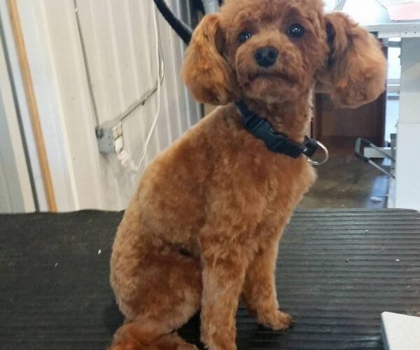 Chester the 8 month old poodle puppy! How cute.