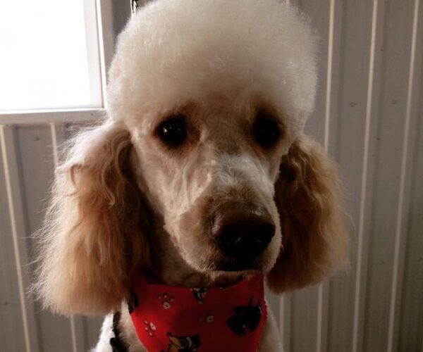 A doodle in a poodle cut! Charlotte sitting pretty for her Christmas groom!
